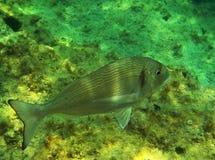 Sea bream fish royalty free stock photography