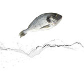 Sea bream fish Royalty Free Stock Photography
