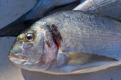 Sea-bream fish for sale on market Royalty Free Stock Image