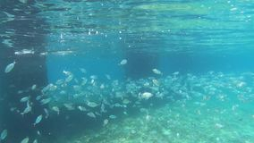 Sea bream fish school, Diplodus annularis shoal underwater stock video