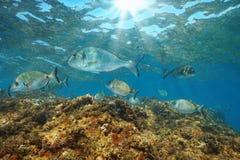 Sea bream fish underwater Mediterranean sea France stock photography