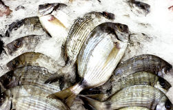 Sea Bream Fishes Royalty Free Stock Photos
