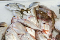 sea bream pagrus stock photography