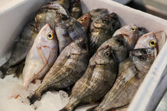 Sea bream or Sargo fishes on ice for sale. Sea bream or Sargo fishes on ice for salle in the greek fish. Sea bream fishes on ice for sale. Horizontal. Close Stock Images