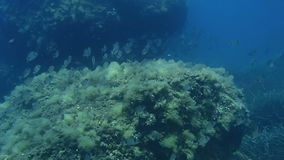 Sea Bream underwater. Underwater footage of a shoal of Sea Bream stock footage