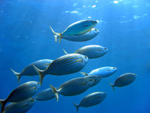 Sea Bream and underwater surface Royalty Free Stock Image