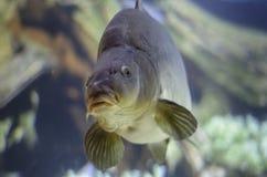 Sea bream. In a zoo aquarium stock photo