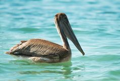 Sea brown pelican Stock Photos