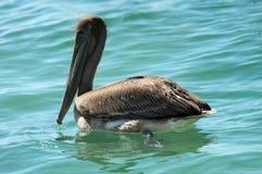 Sea brown pelican Stock Image