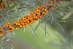 Sea-buckthorn. Branch of sea-buckthorn with its typical orange berries. Sea-buckthorn berries are extremely healthy, with a lot of vitamins and antioxidants Stock Photo