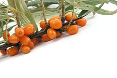 Sea-buckthorn Stock Image