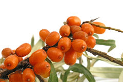 Sea-buckthorn. On white background Stock Image
