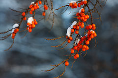 Sea-buckthorn. Berries in the winter on a branch under snow Stock Photo