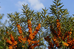 Sea buckthorn Stock Images