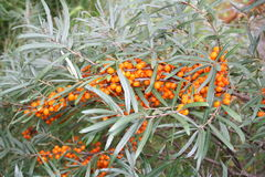Sea-buckthorn. With beries in autumn Stock Photography