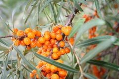 Sea-buckthorn. With beries in autumn Royalty Free Stock Images