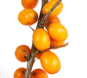 Sea-buckthorn Royalty Free Stock Photography