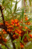 Sea-buckthorn Stock Images