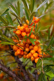 Sea-buckthorn Royalty Free Stock Photo