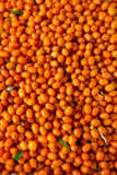 Sea-buckthorn Stock Photography