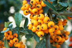 Sea buckthorn Stock Image
