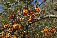 Sea Buckthorn Royalty Free Stock Photo