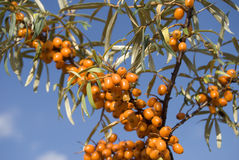 SEA BUCKTHORN BERRIES Stock Photo