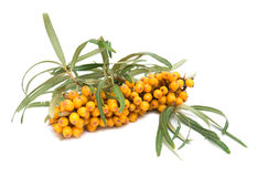 Sea-buckthorn berries Stock Photo