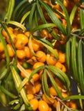 Sea buckthorn berries Royalty Free Stock Image