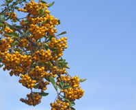 Sea Buckthorn Berries. Branch loaded with sea buckthorn berries against blue sky royalty free stock images