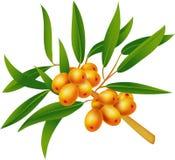 Sea-buckthorn berries. Element  for design  illustration Royalty Free Stock Photo