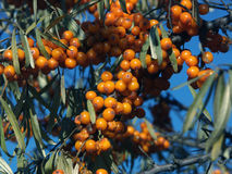 Sea-buckthorn berries. The image of berries of sea-buckthorn berries on a background of a dark blue kind Royalty Free Stock Photography