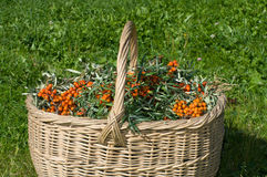 Sea-buckthorn berries. Royalty Free Stock Photo