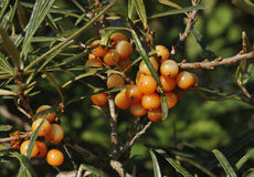 Sea Buckthorn berries Royalty Free Stock Photo