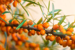 Sea Buckthorn Berries. On a branch with torns - Shallow depth of field Stock Image