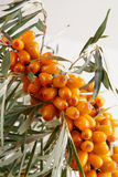 Sea-buckthorn berries Royalty Free Stock Image