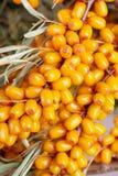 Sea-buckthorn berries Royalty Free Stock Images