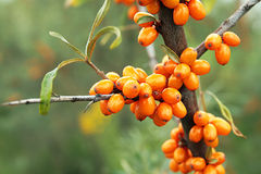 Sea-buckthorn berries Royalty Free Stock Image
