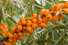 Sea-buckthorn berries. Orange berries of sea-buckthorn berries Royalty Free Stock Image