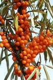 Sea-buckthorn berries Royalty Free Stock Photos