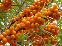 Sea buckthorn berries Stock Photos