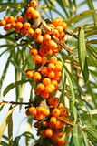 Sea buckthorn berries. On sky background Stock Photo
