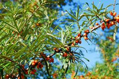 Sea buckthorn berries against blue sky Royalty Free Stock Photos