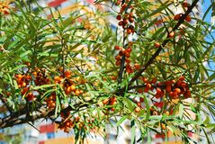 Sea buckthorn berries against blue sky Royalty Free Stock Image