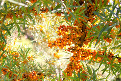 Sea-buckthorn berries background Royalty Free Stock Images