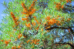 Sea-buckthorn berries background Stock Image