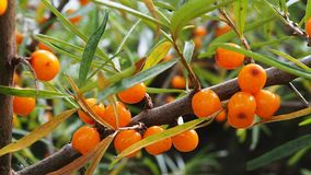 Sea buckthorn berries on a branch stock photo