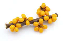 Sea-buckthorn berries branch Stock Images