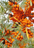 Sea-buckthorn berries on a branch Royalty Free Stock Images