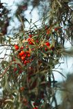 Sea-buckthorn berries on a branch of a Bush royalty free stock photo